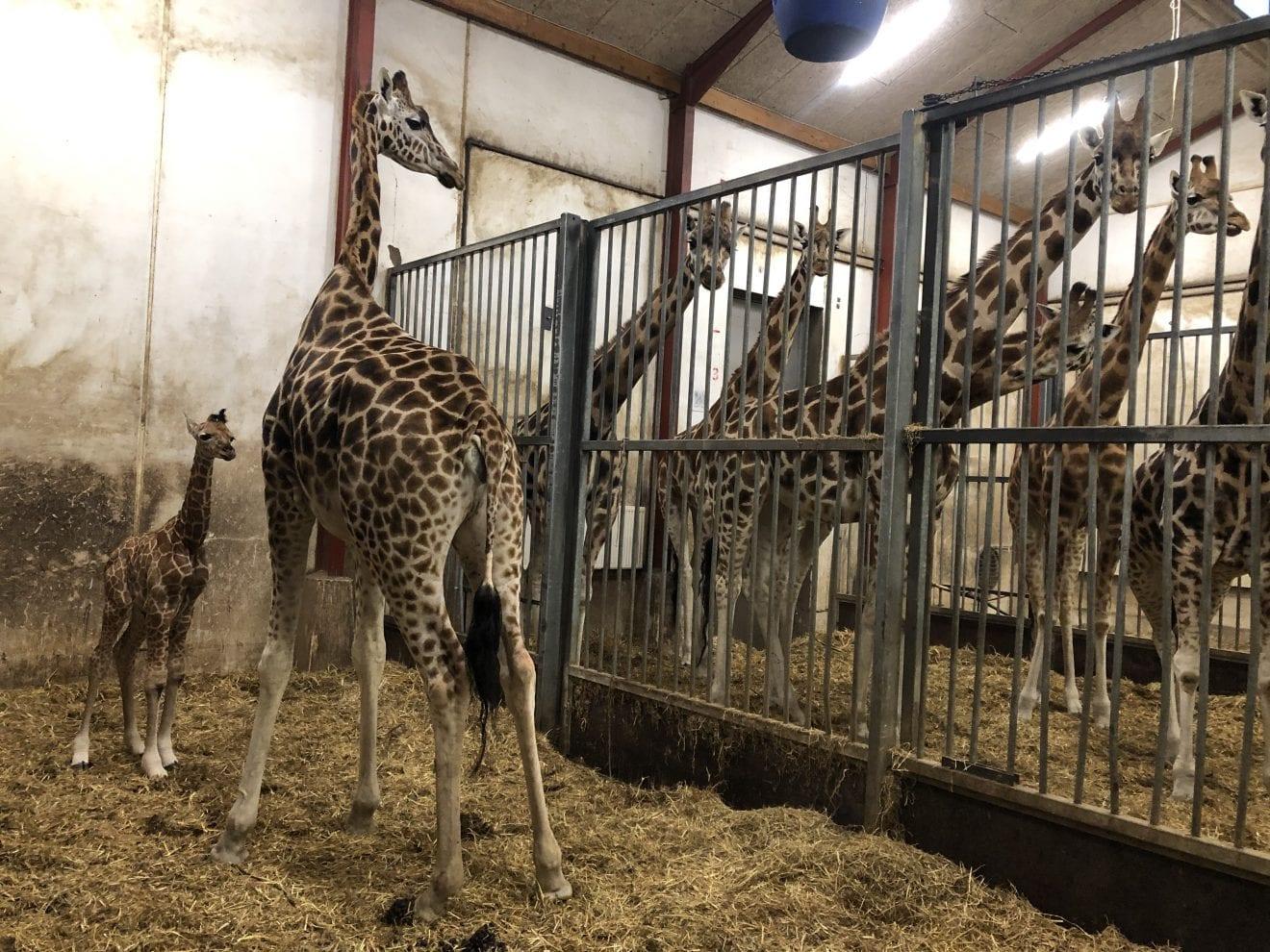 Giraf er født i GIVSKUD ZOO - ZOOTOPIA