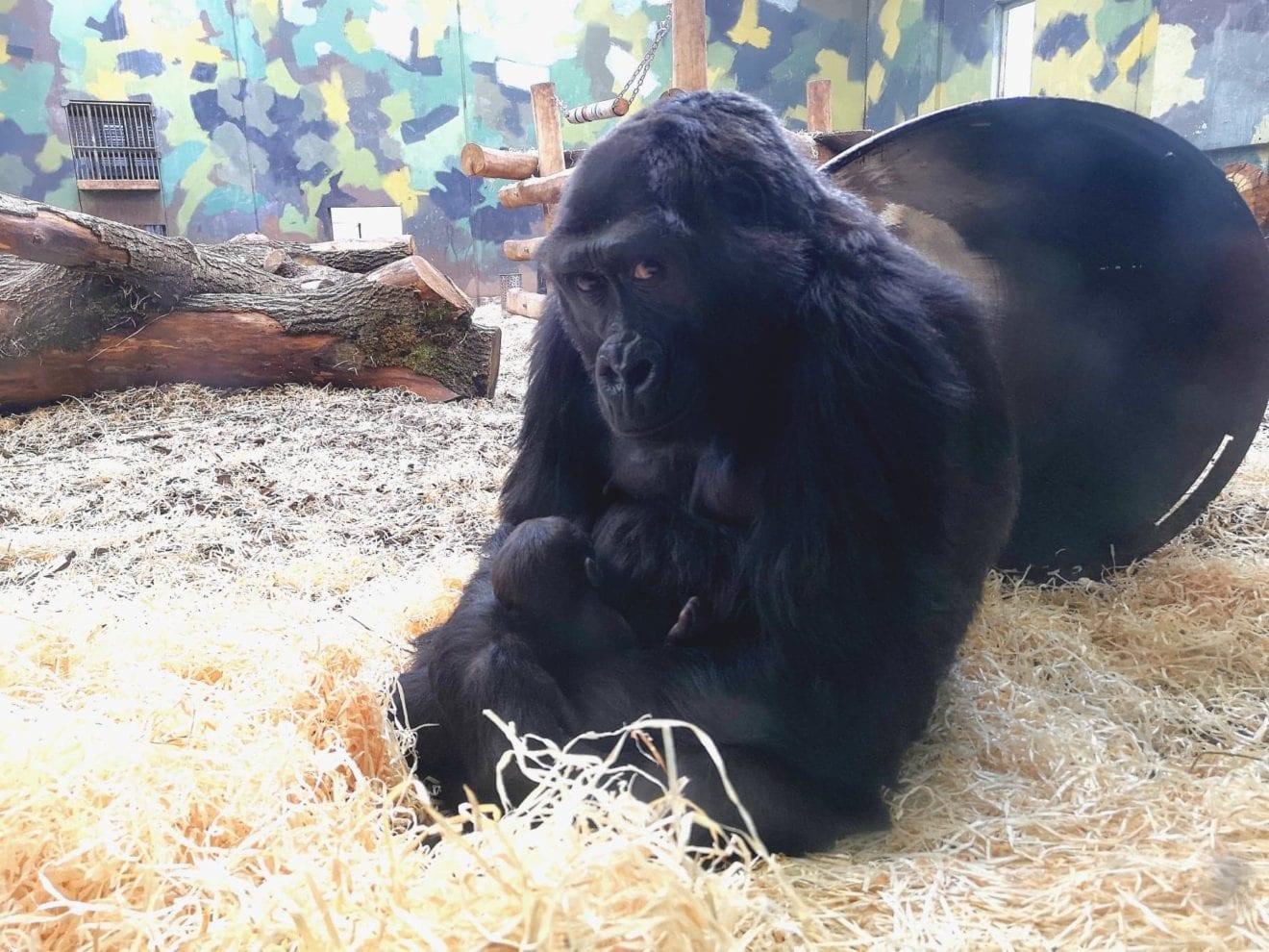 Gorillaen Kahla har fået en unge