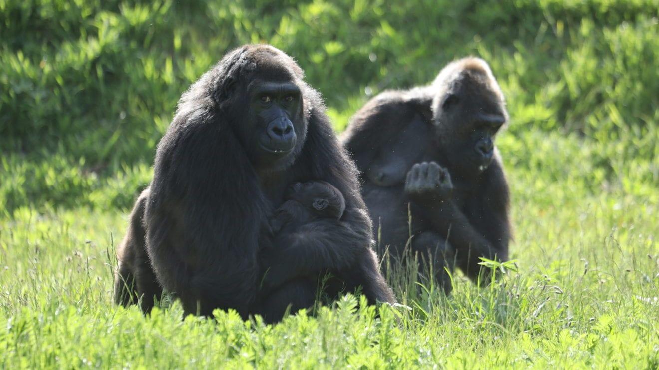Tv-værter gav gorillaungen navnet Malkia