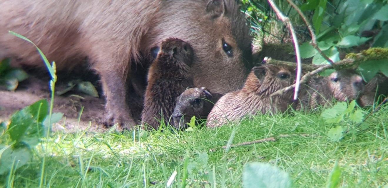 Oplev vores nyfødte kapivarunger
